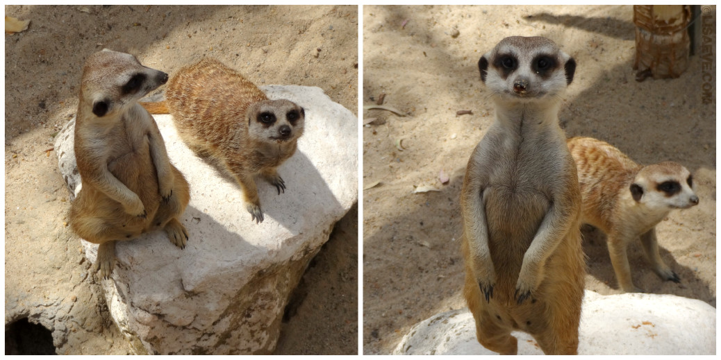 Who loves Meerkats???