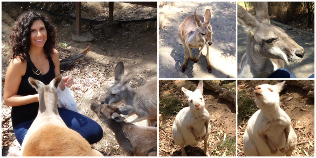 Roos & Wallabies (Feeding Time)