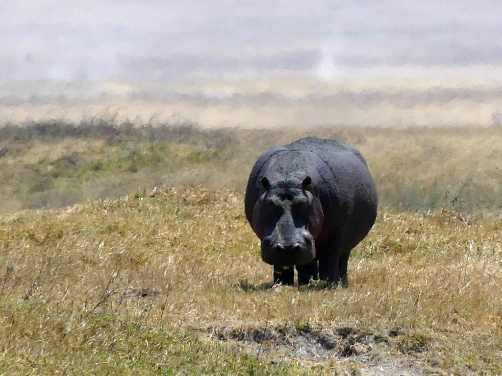 Hippo in the Ngorongoro Crater