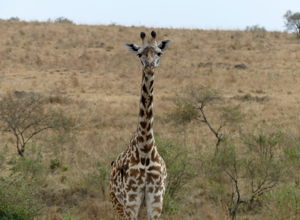 This giraffe was watching us for the longest time, while we ate breakfast on a hill nearby!