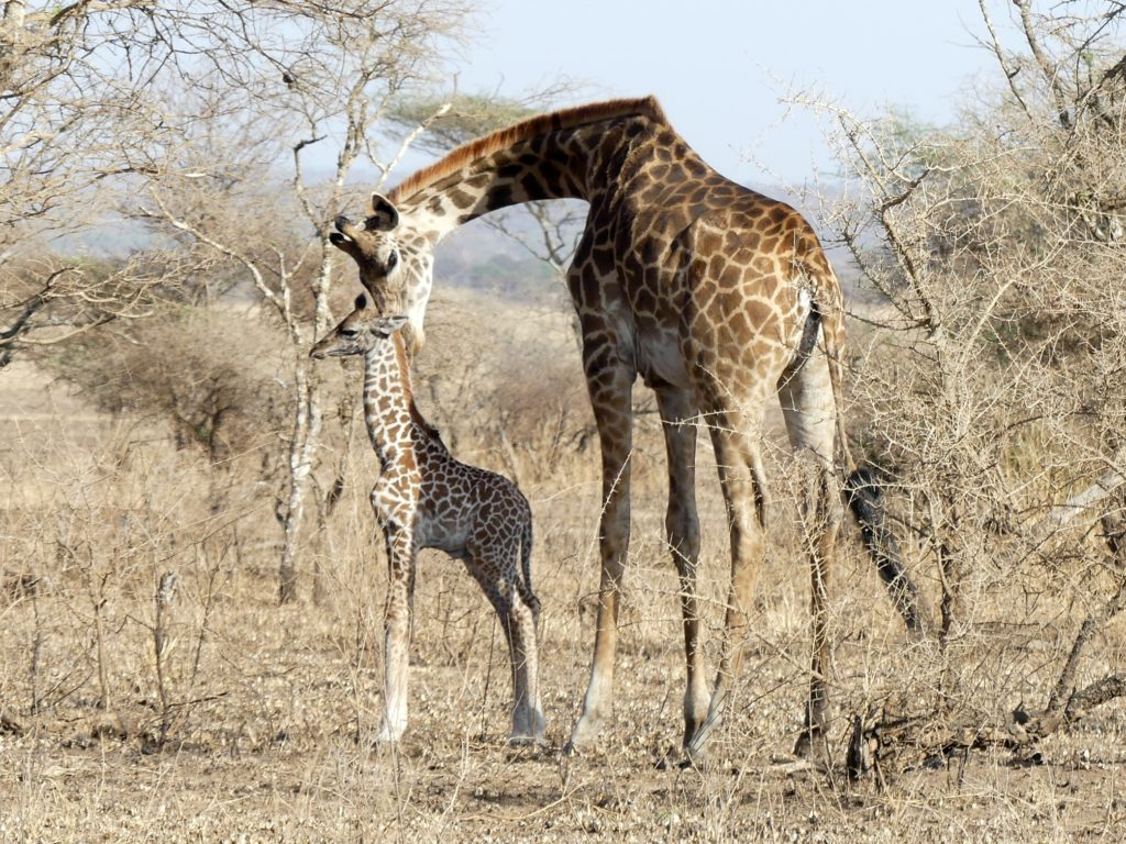 A rare moment of a mother giraffe nurturing her baby.